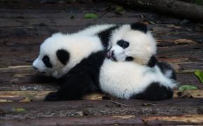 Картинка листья, поза, доски, медведи, пара, панда, медвежонок, малыши, медвежата, парочка, мишки, два, мордочки, лежат, детеныши, …