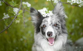 Картинка язык, морда, цветы, ветки, настроение, собака, весна, сад, цветение, зеленый фон, бордер-колли