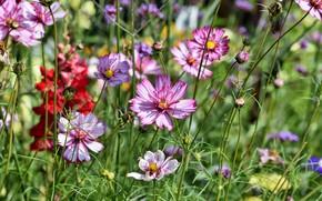 Картинка лето, цветы, природа, луг, космея