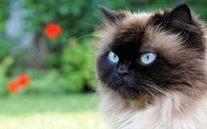 Картинка кошка, лето, кот, взгляд, цветы, крупный план, фон, портрет, сад, мордочка, голубые глаза, пушистая, сиамская, …