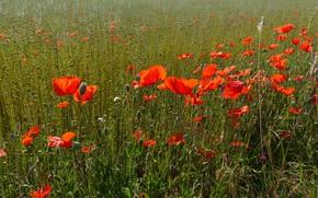 Картинка поле, природа, маки