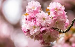 Картинка цветы, ветка, весна, сакура, розовые, цветение, много, пышные