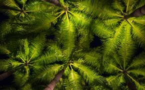 Картинка листья, пальмы, фон, green, кроны, background, leaves, palms, tropical