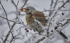Картинка berry, bird, winter