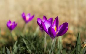 Картинка макро, весна, крокусы, боке, шафран