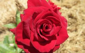 Картинка цветы, роза, красная, Mamala ©, лето 2018