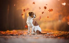 Картинка дорога, осень, взгляд, листья, оранжевый, природа, поза, парк, фон, листва, собака, листочки, рыжие, сидит, листопад, …