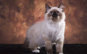 Картинка кошка, взгляд, поза, котенок, фон, мордочка, мех, фотостудия, колор-пойнт, рэгдолл