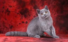 Картинка кошка, кот, взгляд, поза, котенок, серый, котик, лапки, мордочка, милый, котёнок, сидит, красный фон, британский, ...