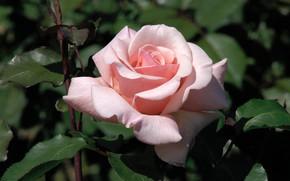 Картинка макро, розовая, роза, лепестки