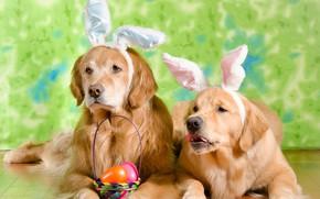 Картинка собаки, яйца, Пасха, ушки, ретривер