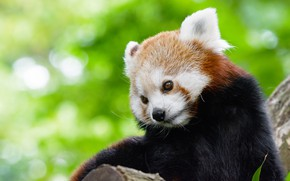 Картинка взгляд, морда, поза, фон, портрет, милый, красная панда, милашка, боке, малая панда