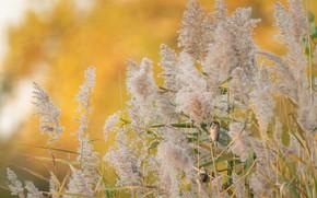 Картинка птицы, тростник, Тростниковая овсянка