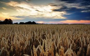 Картинка пшеница, поле, облака, колосья