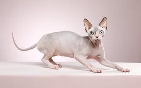Картинка кошка, взгляд, поза, котенок, фон, мордочка, котёнок, сфинкс, фотостудия