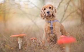 Картинка грусть, осень, лес, трава, листья, ветки, природа, поляна, грибы, собака, размытие, мухоморы, щенок, сидит, боке, …