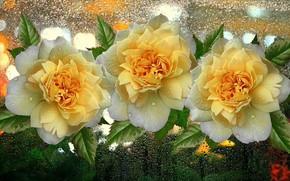 Картинка капли, цветы, дождь, розы, букет, желтые