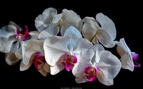 Картинка орхидеи, чёрный фон, белые орхидеи