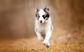 Картинка осень, трава, взгляд, природа, поза, фон, собака, малыш, бег, щенок, прогулка, бордер-колли