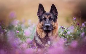 Картинка взгляд, морда, цветы, портрет, собака, луг, боке, Немецкая овчарка