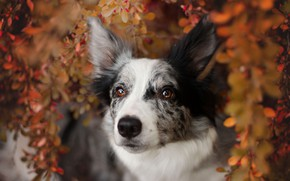 Картинка осень, взгляд, морда, листья, ветки, природа, фон, листва, портрет, собака, бордер-колли, пятнистая, пестрая