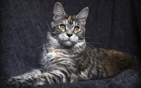 Картинка кошка, кот, взгляд, фон