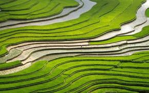 Картинка поля, рис, плантация