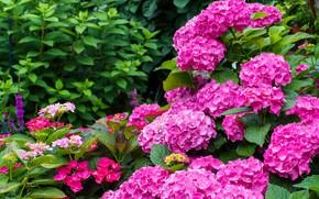 Картинка листья, цветы, яркие, куст, сад, розовые, кусты, гортензия