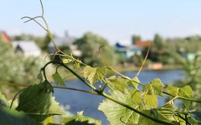 Картинка зелень, листья, Лето, ветви винограда