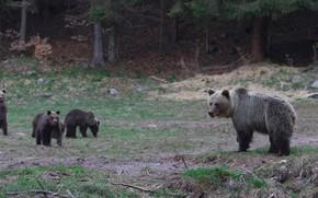 Картинка лес, природа, поляна, медведи, прогулка, медвежата, мишки, медведица, мать, выводок, бурые