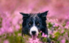 Картинка поле, цветы, природа, животное, собака, голова, пёс, бордер-колли