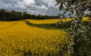 Картинка лес, цветы, ветка, цветение, рапс, рапсовое поле, межа