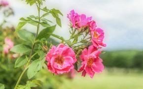 Картинка розы, текстура, розовые