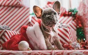 Картинка взгляд, собака, щенок, Новый год, мордашка, пёсик, Французский бульдог