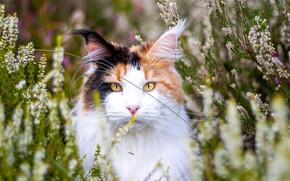 Картинка кошка, кот, морда, цветы, природа, портрет, желтые глаза, мейн-кун, пятнистая, вереск