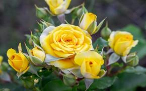 Картинка макро, природа, куст, розы, желтые, сад, бутоны