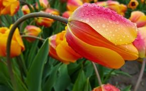 Картинка цветок, капли, макро, оранжевый, тюльпан, весна, стебель, бутон, тюльпаны, клумба