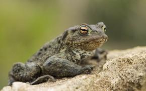 Картинка фон, лягушка, жаба
