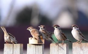 Картинка птицы, стая, воробьи, смотрят, очередь