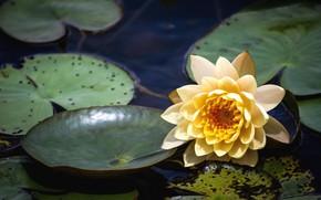 Картинка цветок, вода, озеро, водяная лилия