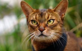 Картинка кошка, взгляд, портрет, мордочка, Абиссинская кошка
