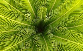 Картинка листья, макро, пальма