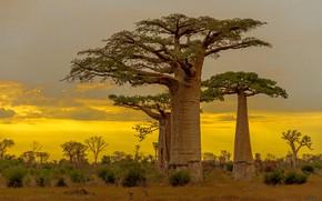 Картинка баобаб, зарево, Мадагаскар