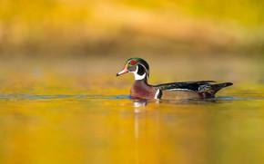 Картинка вода, птица, утка, желтый фон, водоем, плавание, каролинка, каролинская