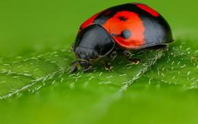 Картинка макро, зеленый, фон, листок, божья коровка, жук, пятна, насекомое, красная с черным