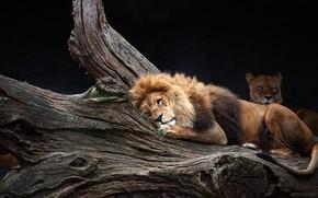Картинка морда, поза, фон, дерево, отдых, темный, лев, лежит, дикие кошки, львица, зоопарк, лень, подустал