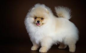 Картинка взгляд, собака, пушистый, милый, шпиц