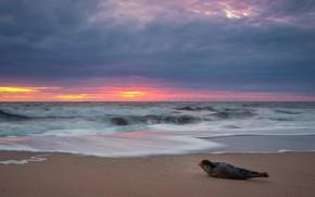 Картинка море, волны, пляж, небо, облака, закат, берег, тюлень, вечер, прибой, детеныш