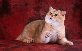 Картинка кошка, кот, взгляд, морда, поза, лапы, лежит, красный фон, зеленые глаза, британский, красавец, золотая шиншилла