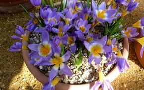 Картинка цветы, весна, крокусы, горшок